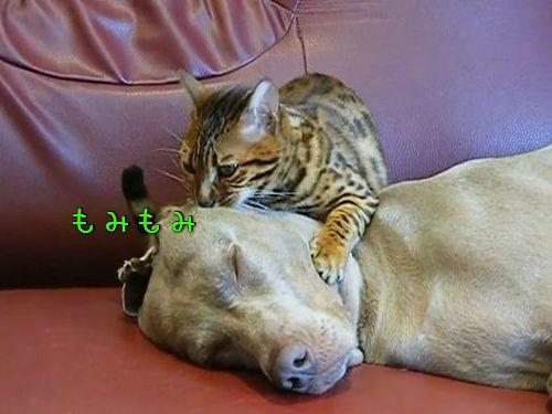 猫が犬の顔をもみもみ…眠りに誘う00