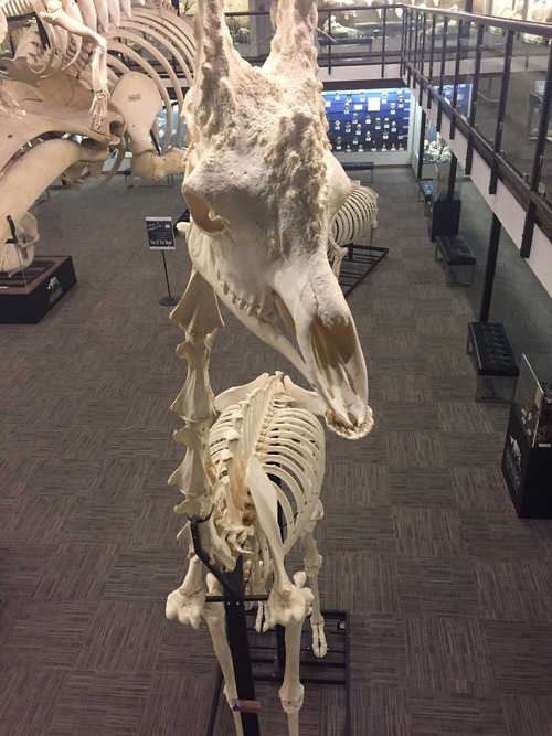キングコブラの骨格が03