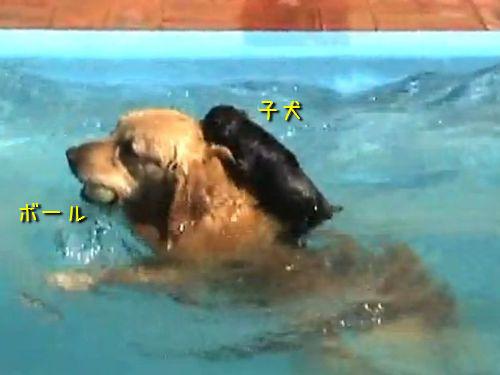 子犬を乗せる犬 子犬を背中に乗せて泳ぐ、けなげな犬(動画):らばQ