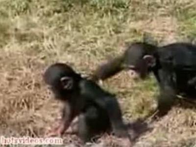 意地悪チンパンジー
