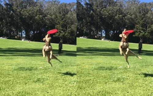 犬のフリスビーキャッチ01