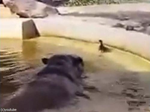 プールを泳ぐカモの赤ちゃん03