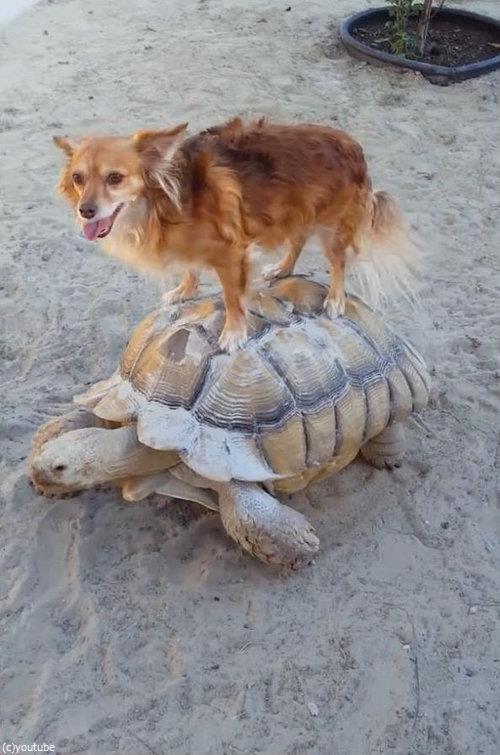 亀に乗る犬06