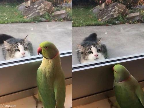 猫に「いないいないばあ」をするインコ00