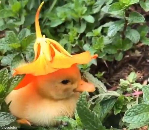 花の帽子をかぶったアヒルの赤ちゃん01