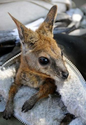袋の中のカンガルーの赤ちゃん