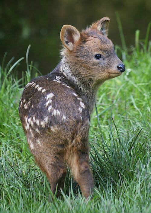 01Baby 赤ちゃん動物たち A baby Pudu, the world's smallest deer