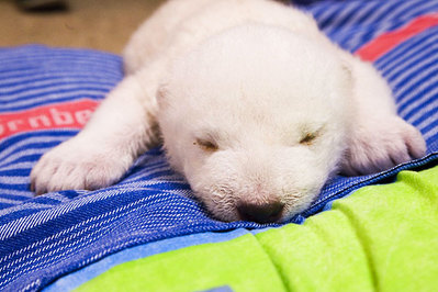 白クマの子供がかわいすぎる03