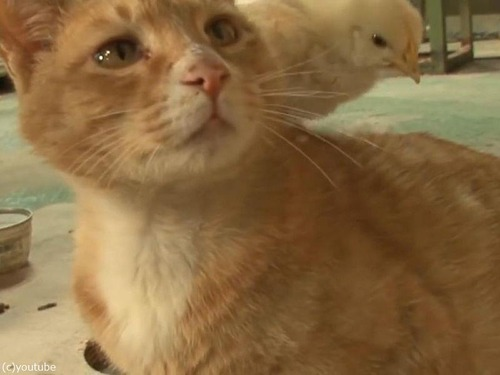 ヒヨコを育てる猫の…パパ01