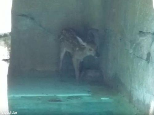 プールの奥に子鹿がいる01
