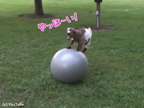 子ヤギにバランスボールを与えた結果00