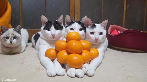 猫の上にみかん05