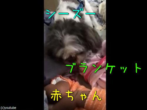 赤ちゃんにブランケットを掛けてあげる犬00