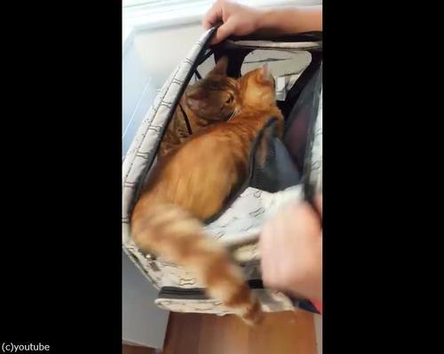 獣医さんから妹を助ける兄猫07