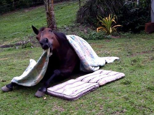 布団で寝る馬01