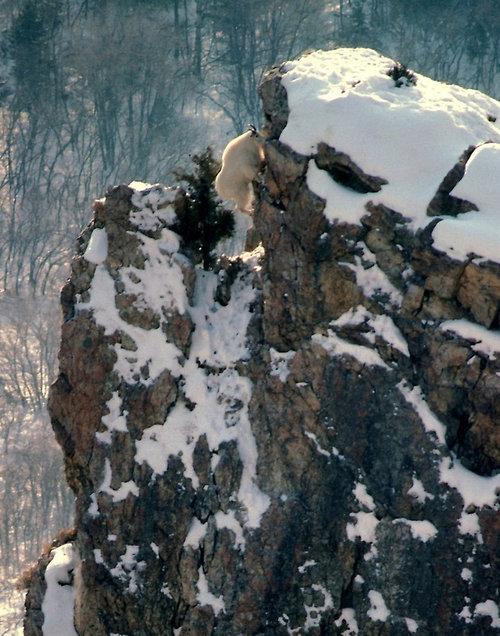崖の上のヤギ01