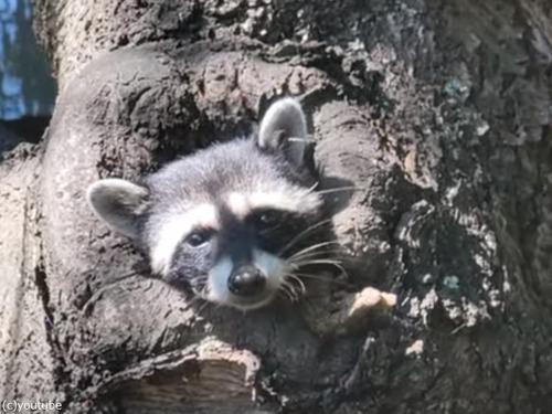 フレンドリーなアライグマが木の穴から顔を出す