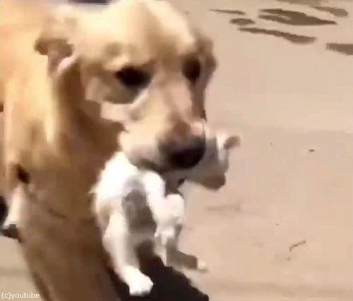 ゴールデンレトリバーが迷子の子猫を拾ってくる02