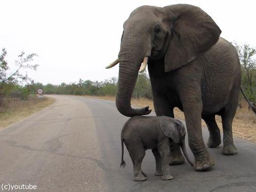 赤ちゃんゾウを守る母親ゾウ08