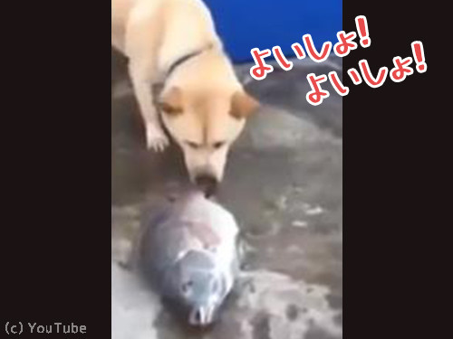 魚を助ける犬00