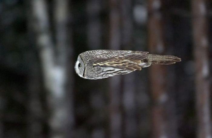 Great Grey Owl Flying ミサイルのよう�...