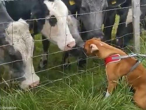 犬が大好きな牛たち00