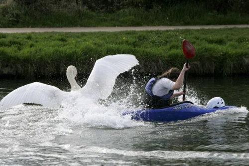 ケンブリッジの暴れん坊な白鳥14