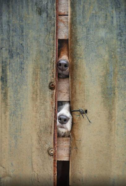 壁越しに会いたがる犬たち14