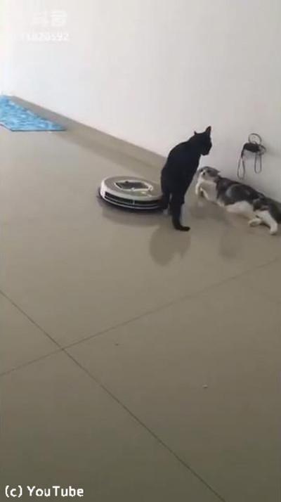 「邪魔ニャ」ケンカ中、近づいてきたルンバを押しのける猫様01