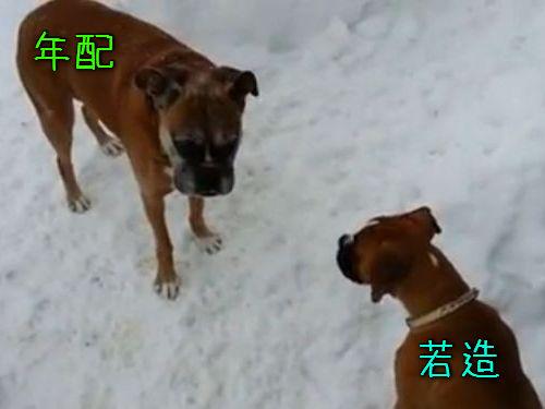 年配の犬が若い犬をだます00