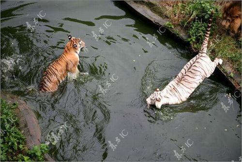 虎vsホワイトタイガー01