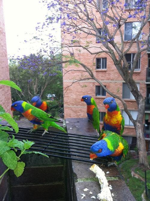 オーストラリアの鳥害01