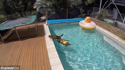 犬の背中に乗ってプール遊びをする猫04