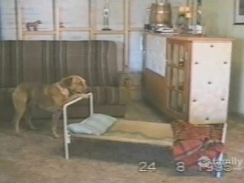 ベッドで寝ようとする犬01