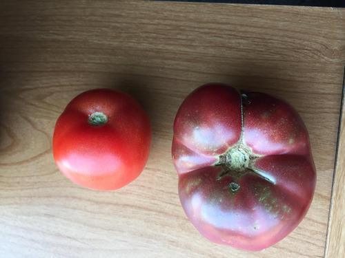 150年前の種から育てたトマト01