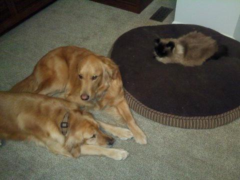 猫にベッドを奪われる犬たち17