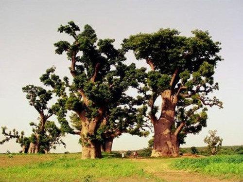 バオバブの木06
