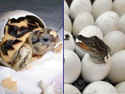 卵からひょっこり顔を出すワニと海ガメの赤ちゃんTOP