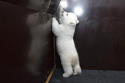 白クマの子供がかわいすぎる05