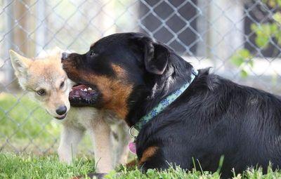 犬に育てられたオオカミ01