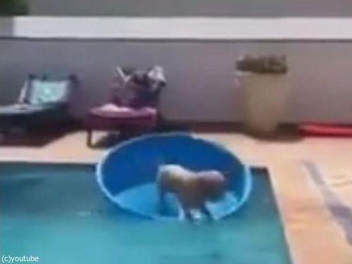 プールからボールを拾い上げる犬05