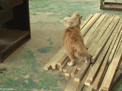 ヒヨコを育てる猫の…パパ02