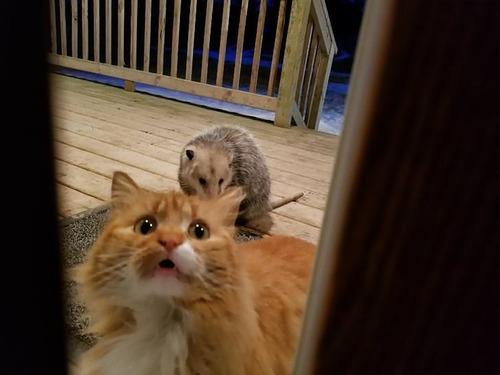 オポッサムにエサを奪われた猫03