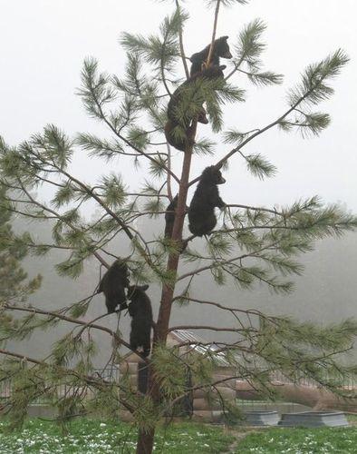 子グマの木登り05