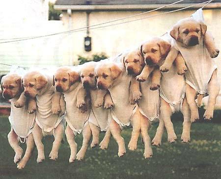 洗濯物として干された子犬たち03