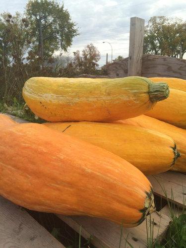 800年前のかぼちゃの種04