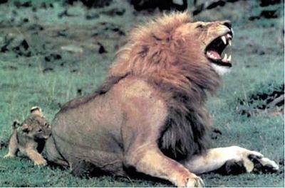 ライオン05