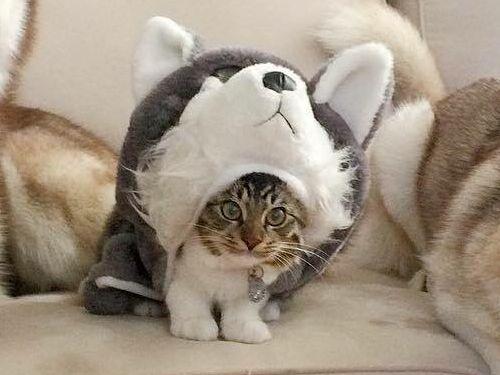 自分をハスキーだと思っている猫02