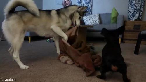 同居犬を助ける優しいハスキー04
