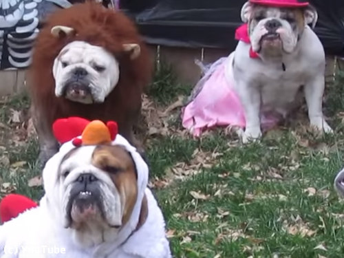 ブルドッグのハロウィン・パーティー02